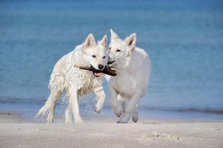 1185-large-perros-jugando-en-la-playa.jp